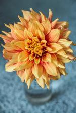 Rozkvitla mi ďalšia odroda dálie - zvláštne však je, že túto odrodu som nekupovala, čiže som na ňu musela niekde natrafiť tak, že ju omylom zabalili pod iným menom. :-D ale som spokojná aj tak - tento kvet má v priemere až 17 cm