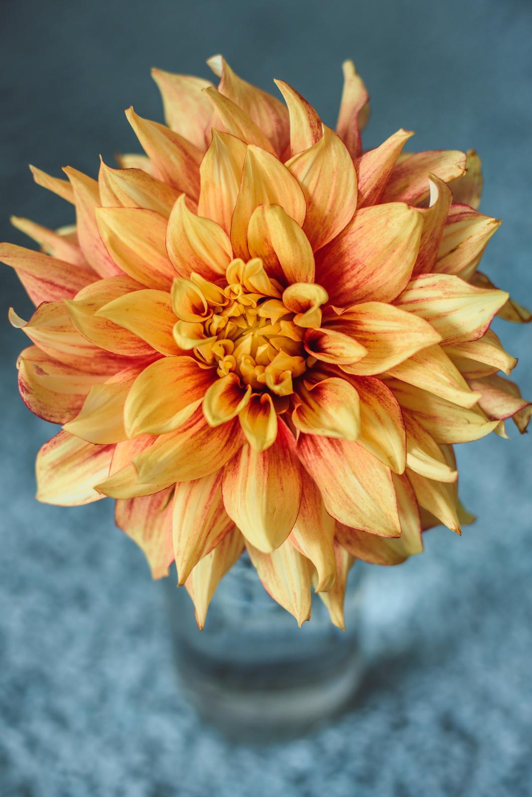 Vo víre kvetov... - Rozkvitla mi ďalšia odroda dálie - zvláštne však je, že túto odrodu som nekupovala, čiže som na ňu musela niekde natrafiť tak, že ju omylom zabalili pod iným menom. :-D ale som spokojná aj tak - tento kvet má v priemere až 17 cm