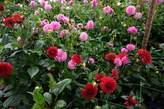 Z týchto dvoch farieb mám zatiaľ najviac kvetov :-)