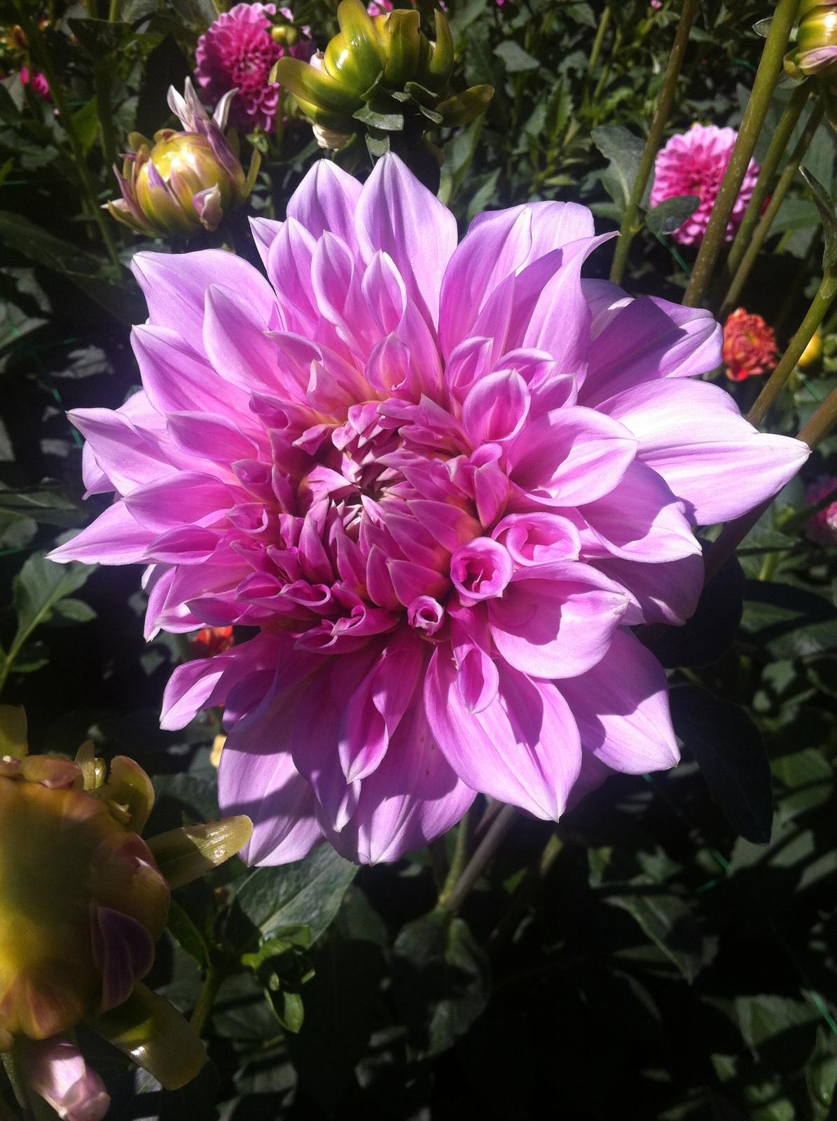 Vo víre kvetov... - Lavender Perfection