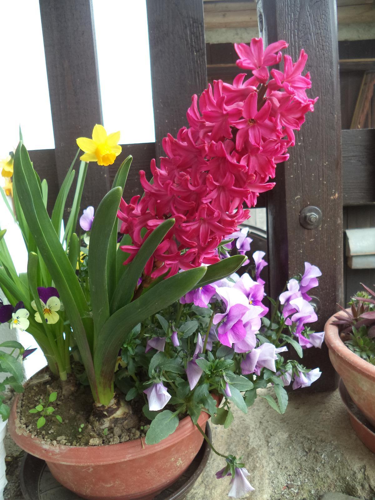 Zahrádkové - ...protože hyacinty postupně nakvétají....