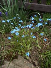 vloni jsem si ji přinesla z procházky, roste u takové ošklivé plechové boudy na balíky slámy, pár rostlinek se uchytilo, jsem blažená ;-)