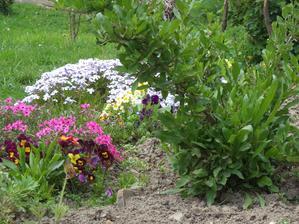kousek koniklece, astra, maceška, petrklíče, phloxa z loňska, vpravo kustovnice, v pozadí další petrklíče, macešky a pár let stará phloxa