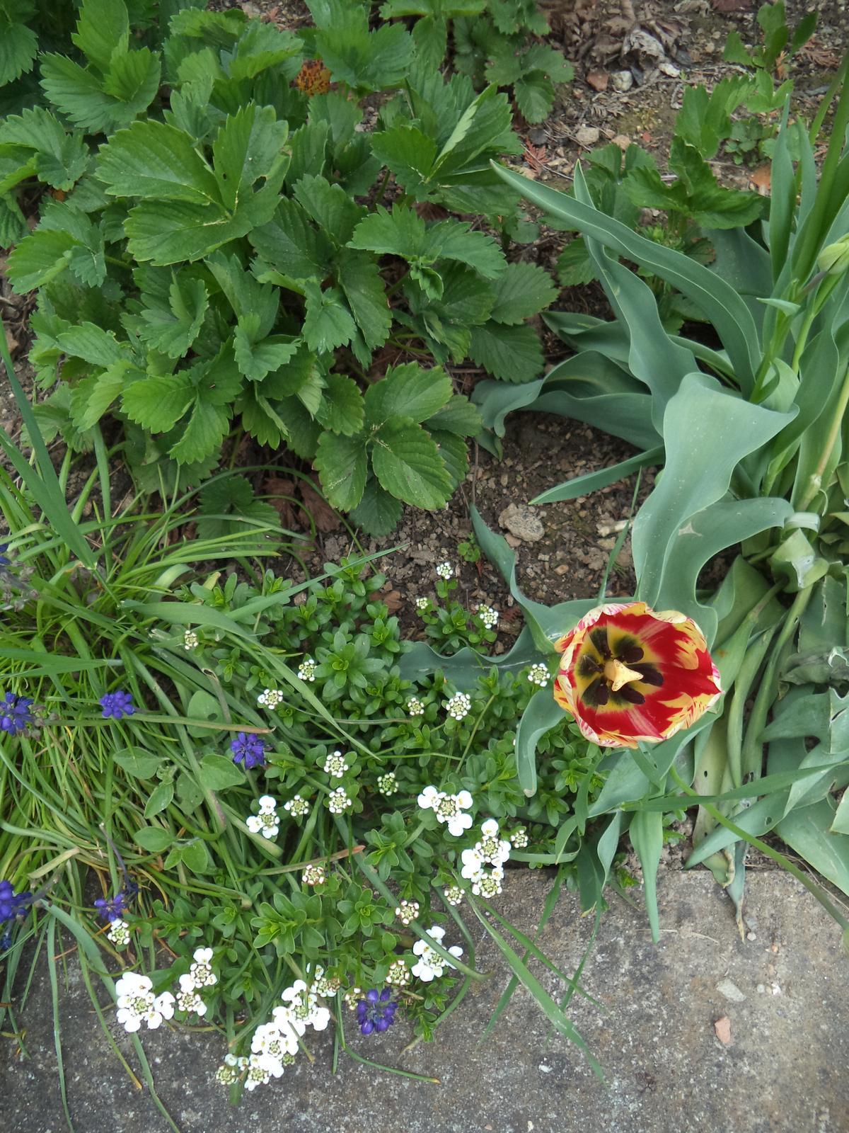 Zahrádkové - tulipány ještě po původních majitelích, jsou to držáci, před pár lety jsem zainvestovala do cibulovin, všechny odešly, jen tyhle prastaré drží ;-)