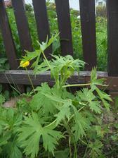 stračku jsem zasadila vloni, tak jsem mooooooooooc zvědavá na ty květy ;-)