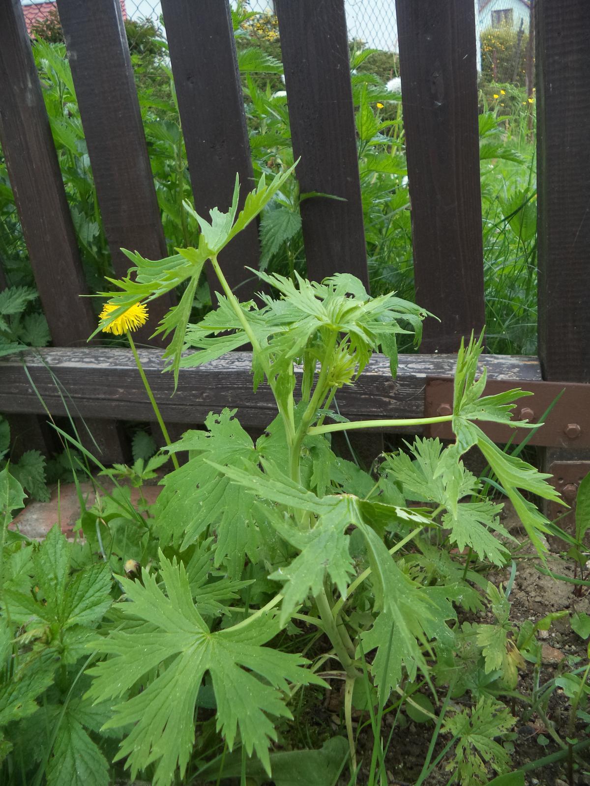 Zahrádkové - stračku jsem zasadila vloni, tak jsem mooooooooooc zvědavá na ty květy ;-)
