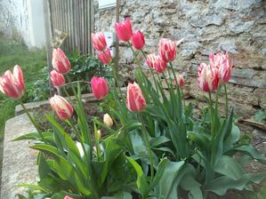 Tulipány po staré paní byly vždycky držáci, myším úspěšně narozdíl od nové výsadby odolávaly. Ale poprvé za těch deset let, co tu jsme je mám tak krásné, bohaté. Že by ta loňská kopřivová jícha, co jsem ji lila všude po záhoncích?..