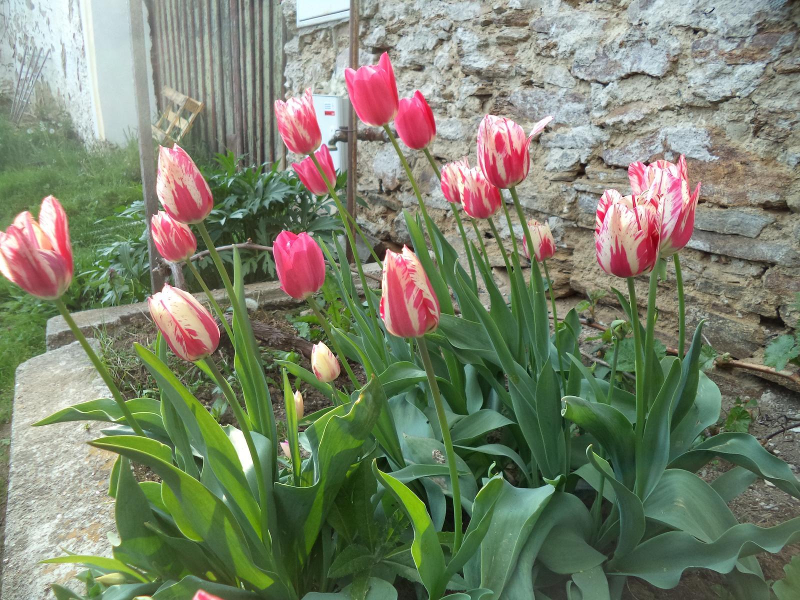 Zahrádkové - Tulipány po staré paní byly vždycky držáci, myším úspěšně narozdíl od nové výsadby odolávaly. Ale poprvé za těch deset let, co tu jsme je mám tak krásné, bohaté. Že by ta loňská kopřivová jícha, co jsem ji lila všude po záhoncích?..