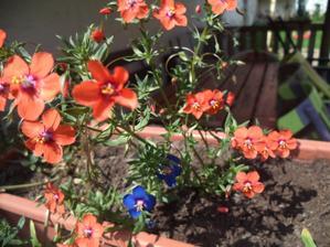 mívala jsem do truhlíku ty modré, ty oranžovo- růžové mám letos poprvé (tady foceno s lehkým vánkem a nedařilo se zaostřit)