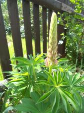 tohle je druhá rostlinka, co přežila slimáky, vypadá to na nějakou růžovou..