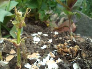 Zasadila jsem si letos 3 rostlinky nízkého kohoutku. Tohle s nimi udělaly slimáci...