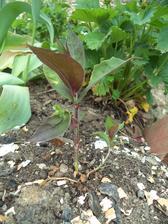 Teda stačily ožrat dvě rostliny, obsypala jsem je nadrcenými skořápkami od vajíček a jednu rostlinu tak zachránila, od té doby na ní není ani hryzanec...