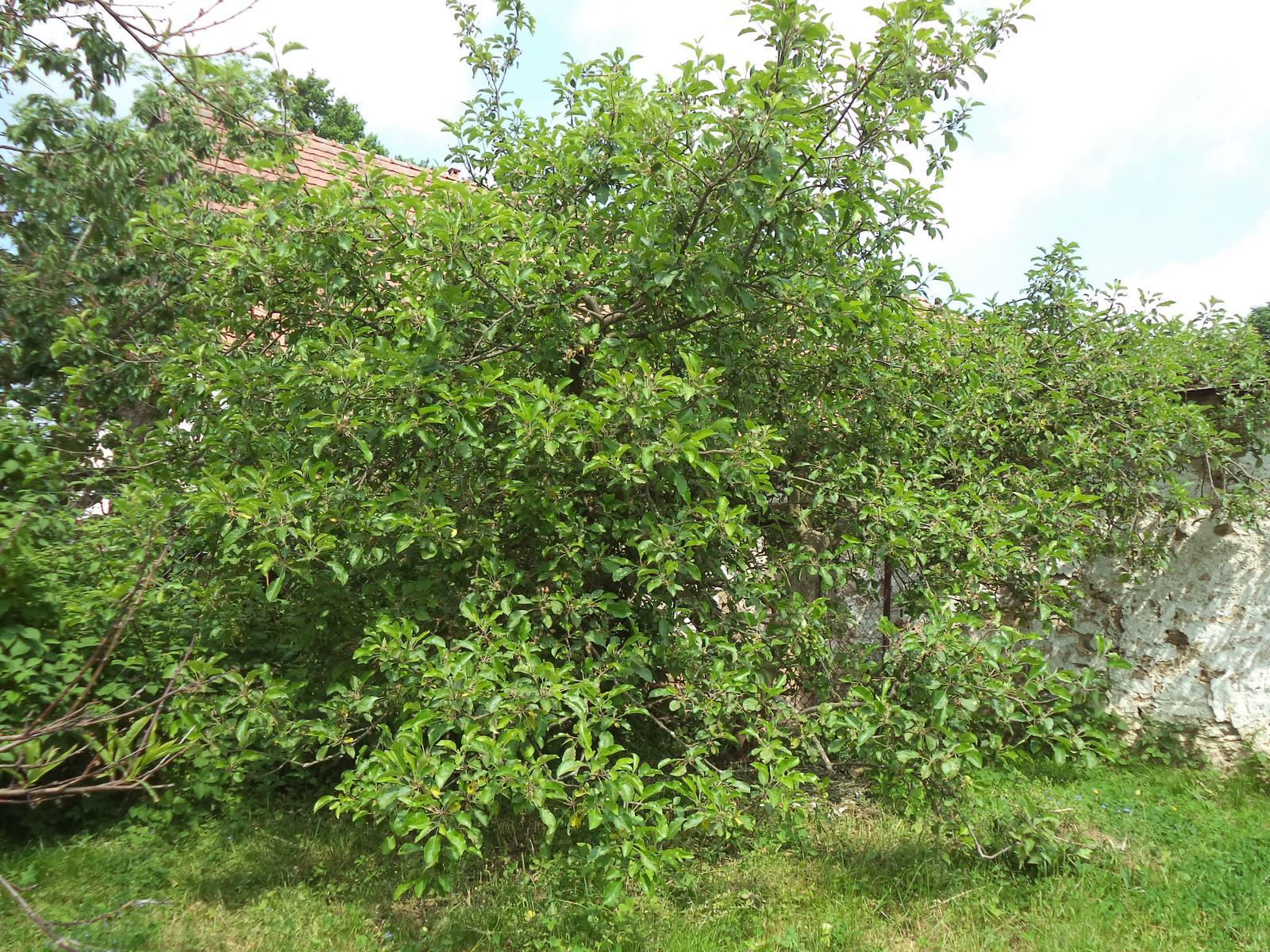 Zahrádkové - Stará jablůňka, pořád plodí sladká červená jablíčka, skoro bych řekla, nejlepší co znám :-D