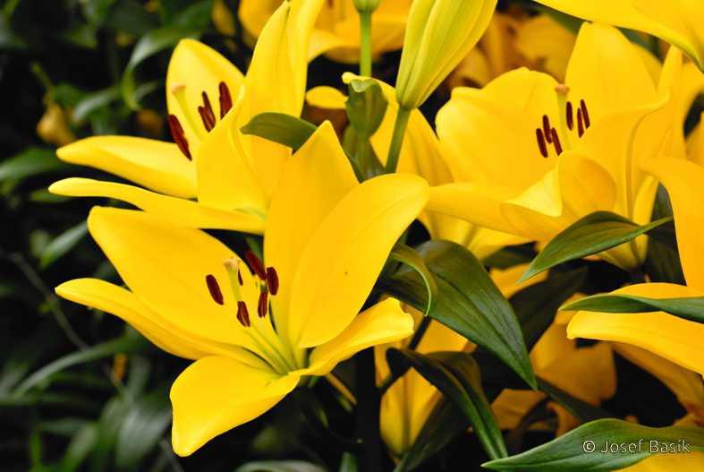 Zahrádkové - plány - Letos poprvé se vrhnu do pěstování lilií...