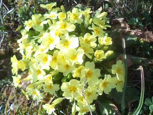 Jaro 2018... petrklíče, co jsme vloni vyrýply z trávníku od sousedky vesele kvetou...