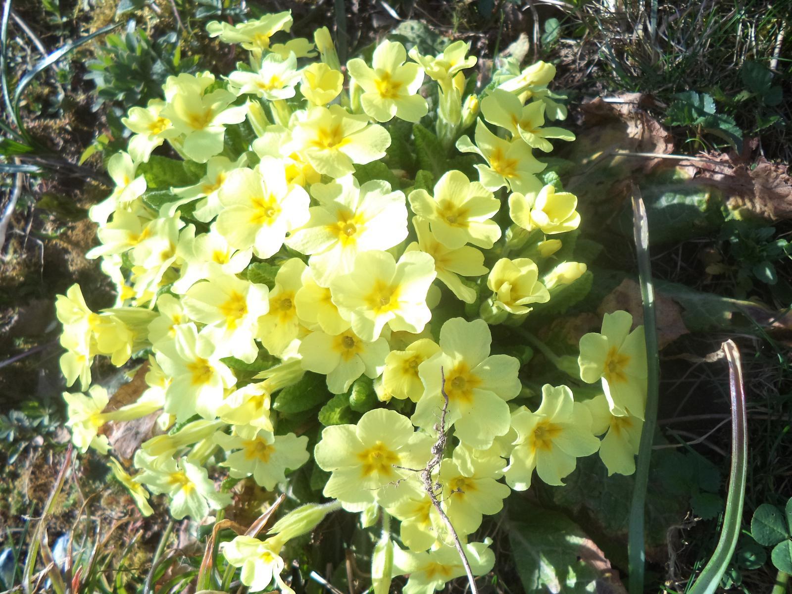 Zahrádkové - Jaro 2018... petrklíče, co jsme vloni vyrýply z trávníku od sousedky vesele kvetou...