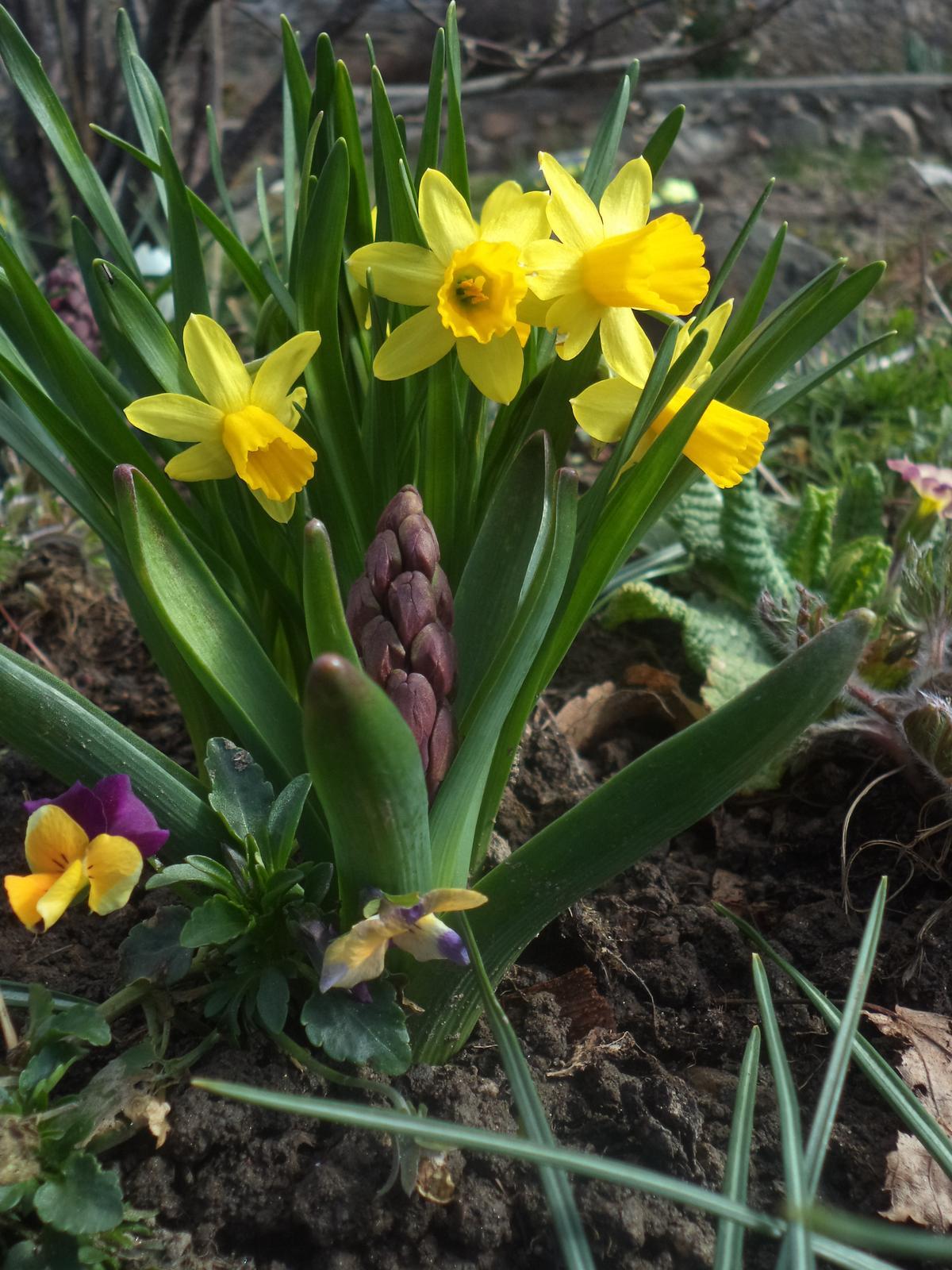 Zahrádkové - ..přeživší macešky, podzimní sadba zakrslých narcisů a hyacintů...