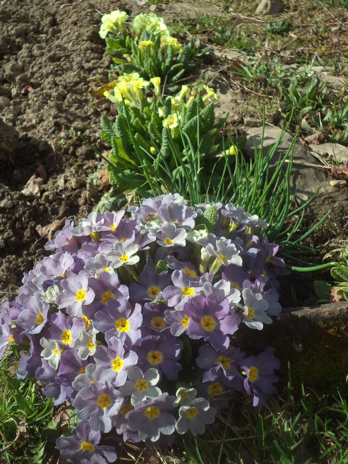 Zahrádkové - ..dnes mi v zahradnictví při koupi velkokvětých prodavačka řekla, ať je přihnojuji, aby květy zůstaly velké..no jestli mají bez přihnojení vypadat takto (záplava malých květů), pak budu moc ráda ;-)