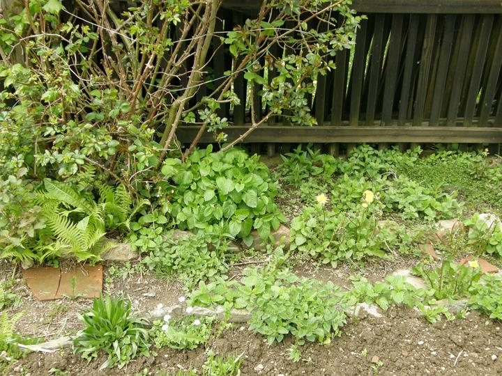 Moje zahrádkové potěšení - květen 2010 - založila jsem si bylinkovou zahrádku a ponechala ji svému osudu, ať se bylinky zabydlí aniž bych jim do toho kecala :-) planou růži má za úkol zlikvidovat manžel