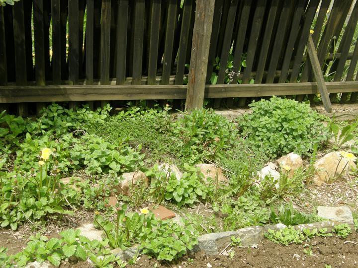 Moje zahrádkové potěšení - květen 2010 - začalo se jim dařit - hlavně pak meduňce a oregánu