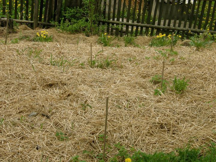 Moje zahrádkové potěšení - květen 2010 - kousek vedle - čerstvě zasázené keříky..