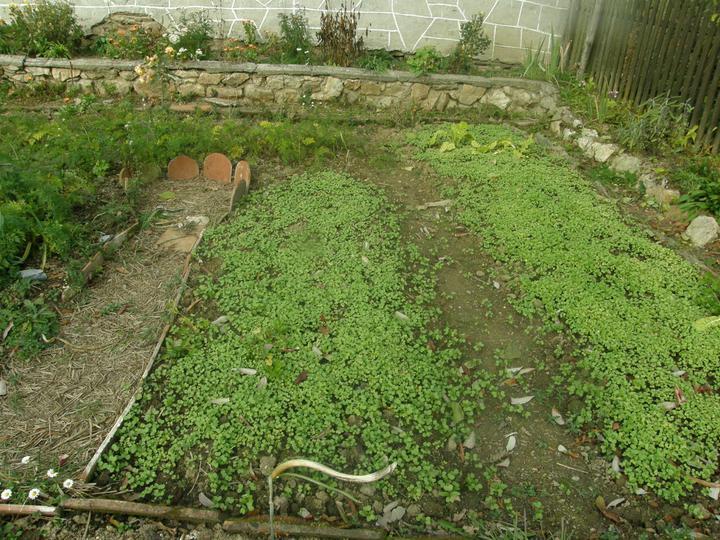 """Moje zahrádkové potěšení - Listopad 2010 - zelené hnojení aneb ať má půda """"vitamínky"""" :-)"""