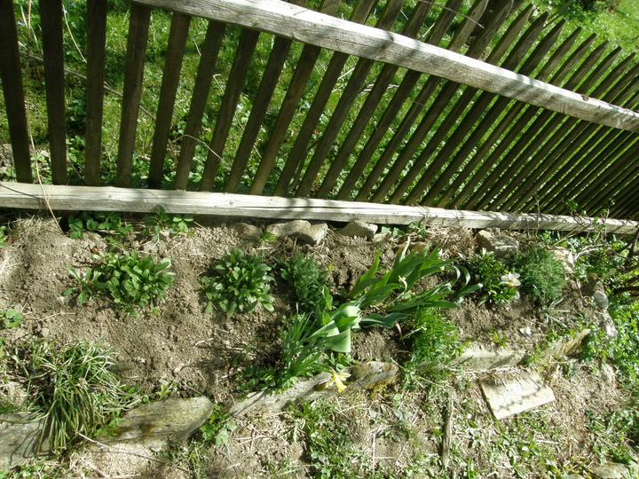 Moje zahrádkové potěšení - Duben 2011 - snažím se o to, aby moje květinové záhonky byly pokud možno co nejdéle v květu-v na začátek jara modřenec, v pozdním jaru kosatec,v létě kopretinky, na podzim okrasný řebříček