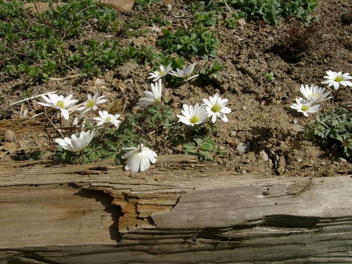 Moje zahrádkové potěšení - Duben 2011 - jakoby tu moje něžné sasanky rostly vedle bylinke odjakživa...(sázeny na podzim roku 2010)