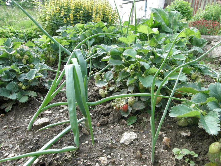 Moje zahrádkové potěšení - počátek června 2011- Jahody si výborně rozumí třeba s cibulí
