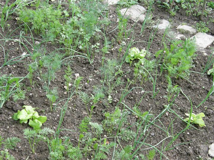 Moje zahrádkové potěšení - moje zeleninka v polykultuře