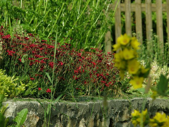 Moje zahrádkové potěšení - Úžasná, nenáročná půdokryvná kytička - Dianthus deltoides - Hvozdík