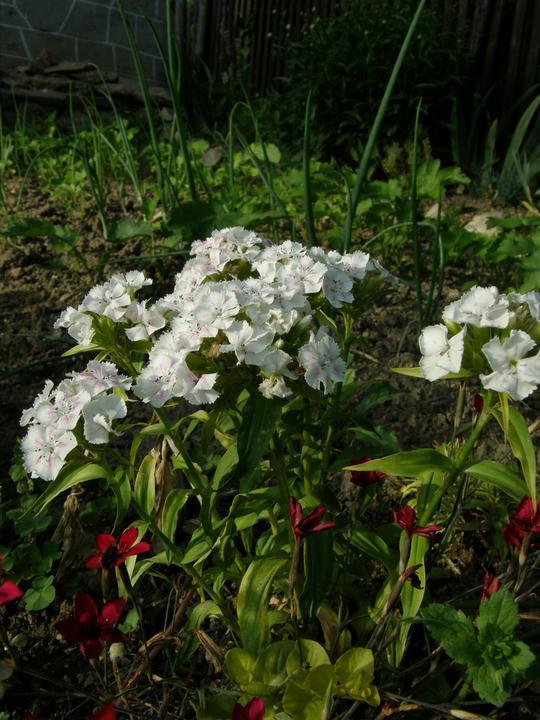 Moje zahrádkové potěšení - Dianthus barbatus - Hvozdík bradatý