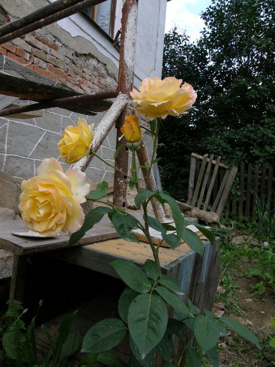 Moje zahrádkové potěšení - přes zimu jsem si myslela, že nepřežije moji péči - s růžemi to opravdu neumím), překvapila, přežila i můj zástřih aniž by zplaněla jako ty předešlé, ovšem jestli přežije tohle běsnění...těžko říct