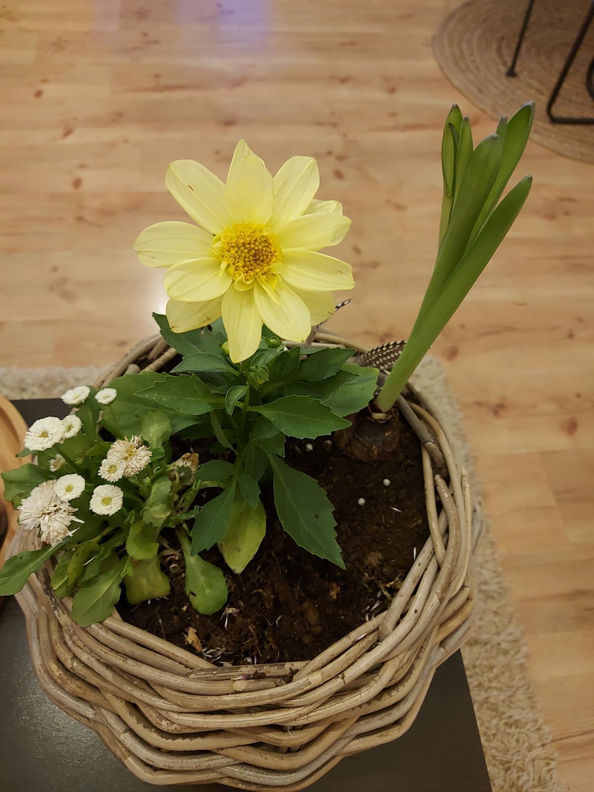 Moje jarné radosti🌺 - Sedmikrásky a hyacint dokvitli .....