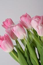 svatební kytice bude určitě z tulipánů