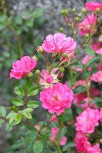 The Fairly - růžová, velmi drobná půdokryvka