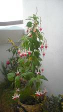 ma viac ako 40 kvetov :) rozdivela sa