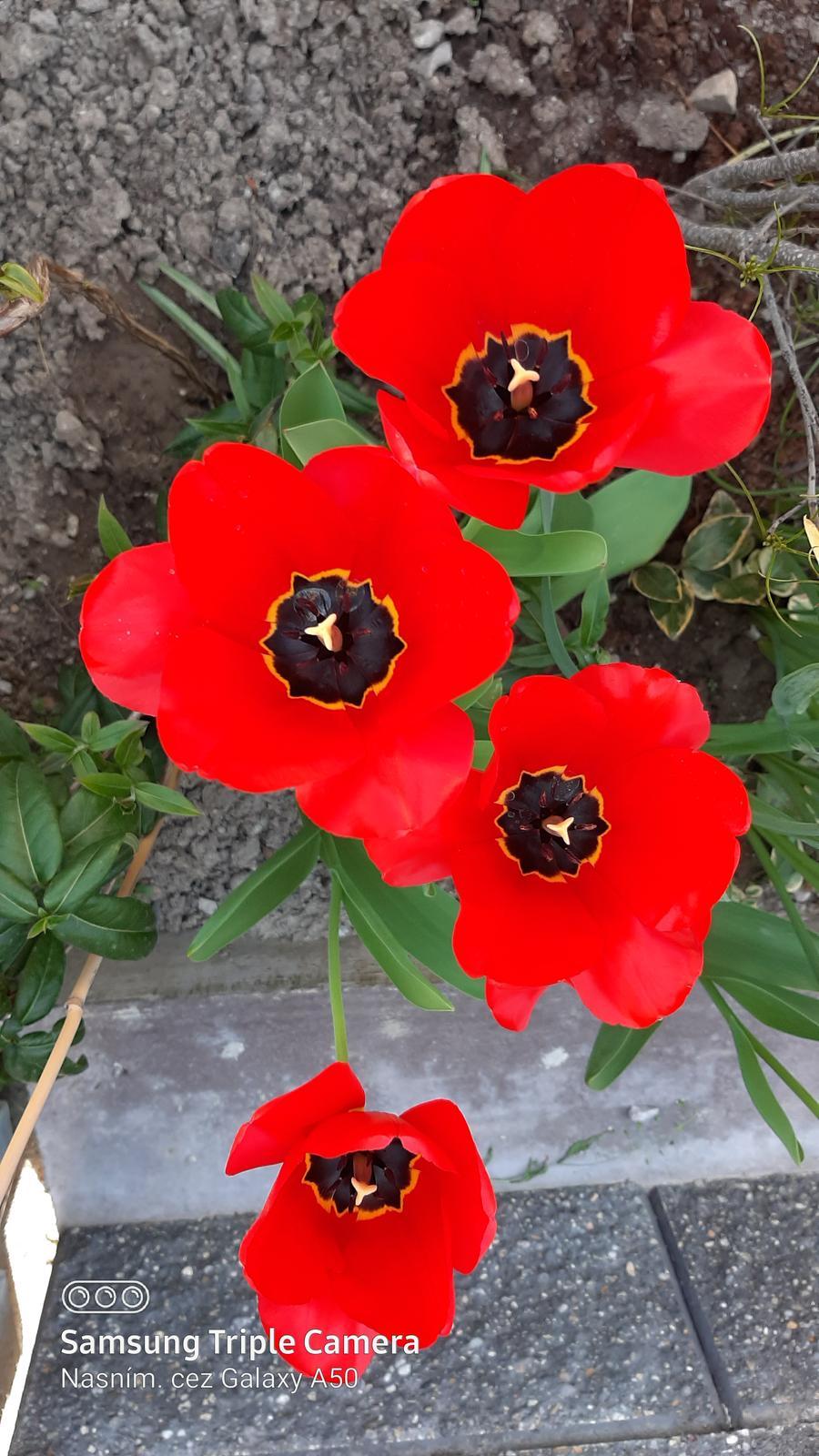 🏠🌞🌺❤🌷 Zahrada a jej dalsi rok...2020 🌱🐞🐛🦋🍓🥕🍅🌺❤ - Tulipany mojej milovanej babky ❤