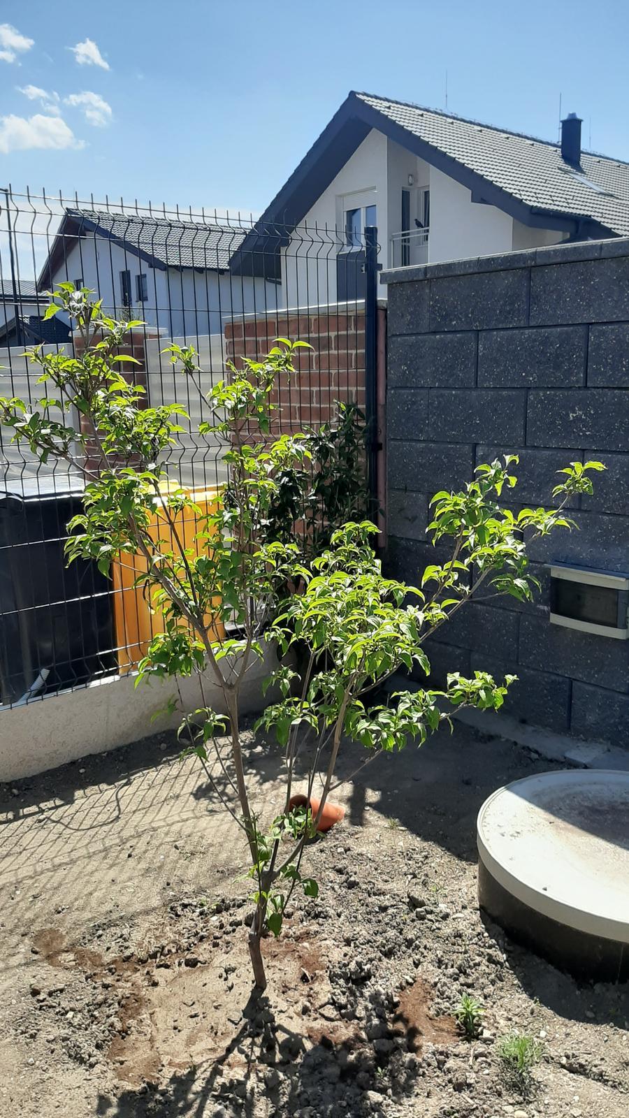 🏠🌞🌺❤🌷 Zahrada a jej dalsi rok...2020 🌱🐞🐛🦋🍓🥕🍅🌺❤ - Drien japonsky Milky Way....prezil zimu :-)