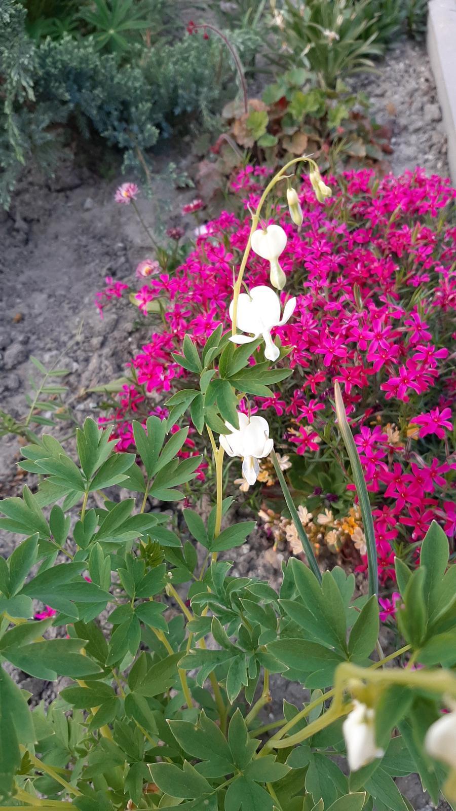 🏠🌞🌺❤🌷 Zahrada a jej dalsi rok...2020 🌱🐞🐛🦋🍓🥕🍅🌺❤ - Biela ❤ omrzla ale potom znova nahodila kvety...