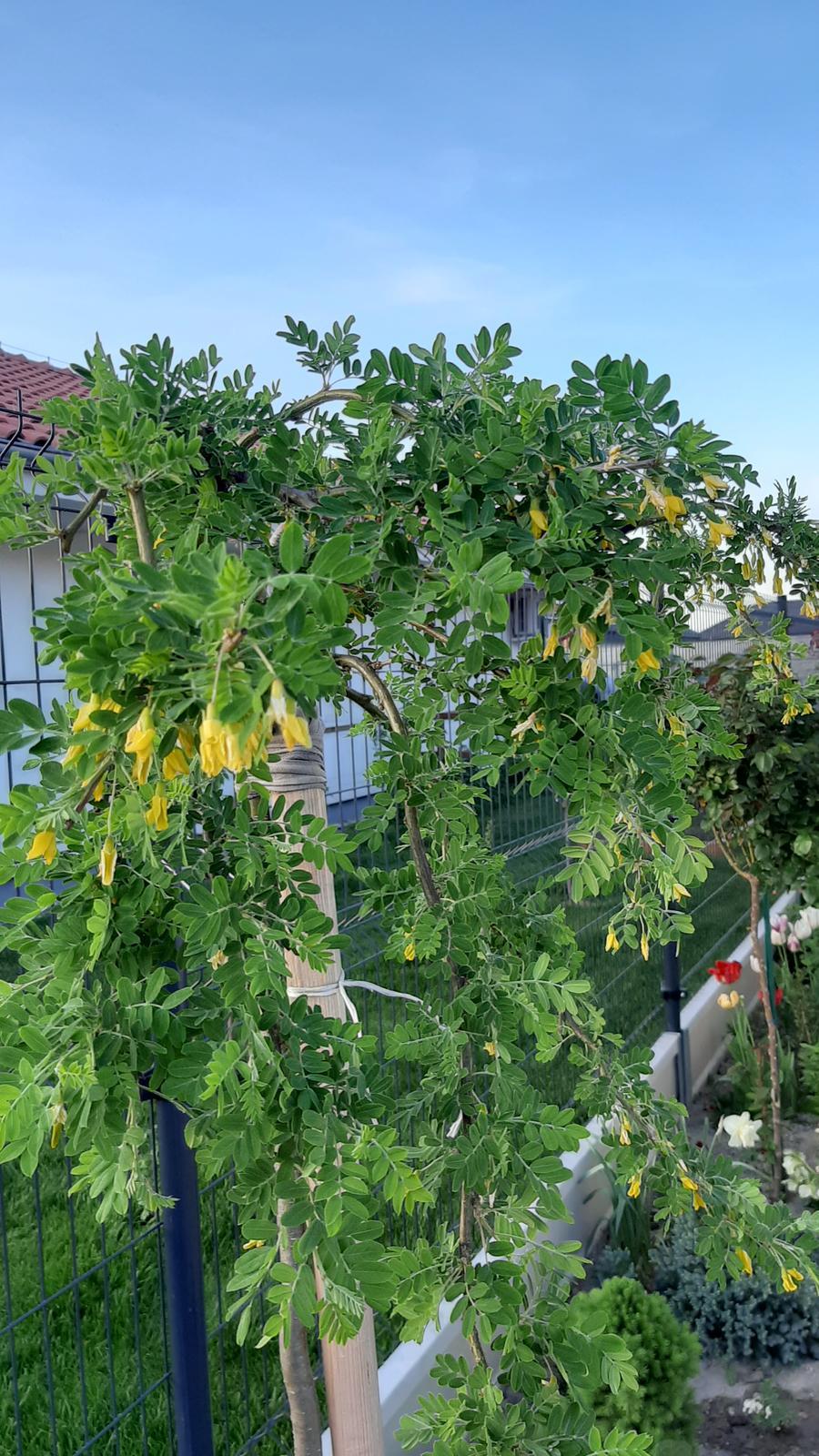 🏠🌞🌺❤🌷 Zahrada a jej dalsi rok...2020 🌱🐞🐛🦋🍓🥕🍅🌺❤ - Karagana zakvita...tiez prezila presadenie.