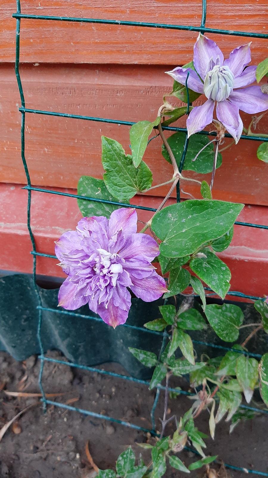 🏠🌞🌺❤🌷 Zahrada a jej dalsi rok...2020 🌱🐞🐛🦋🍓🥕🍅🌺❤ - Plamienok ledva prezil zimu...ale zakvitol.