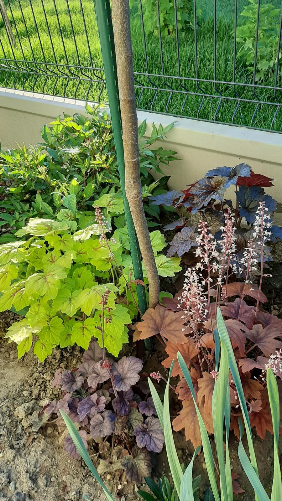 🏠🌞🌺❤🌷 Zahrada a jej dalsi rok...2020 🌱🐞🐛🦋🍓🥕🍅🌺❤ - Heuchery a vzadu astilbe.