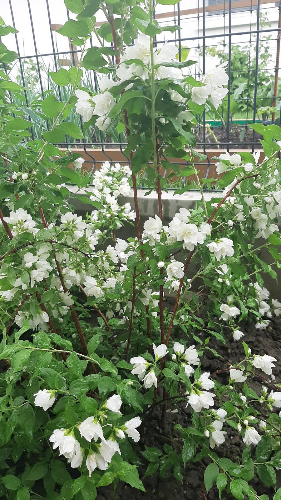 🏠🌞🌺❤🌷 Zahrada a jej dalsi rok...2020 🌱🐞🐛🦋🍓🥕🍅🌺❤ - Pajazmin brutalne vonia.