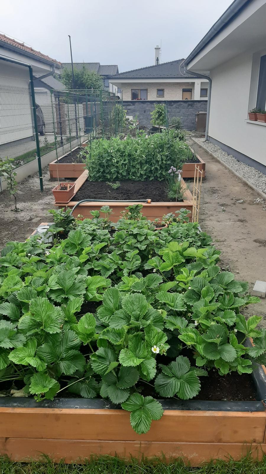 🏠🌞🌺❤🌷 Zahrada a jej dalsi rok...2020 🌱🐞🐛🦋🍓🥕🍅🌺❤ - Tohto roku snad upravime okolie zahonov....prvy zahon jahody, dalsi je zatial hrasok a pribudne tam paprika. Dalsie dva uhorky s kaleraom, vedla cibula a mrkva s petrzlenom. Cibulu priebezne jeme a dosievam dalsiu mrkvu + dosadeny zeler.