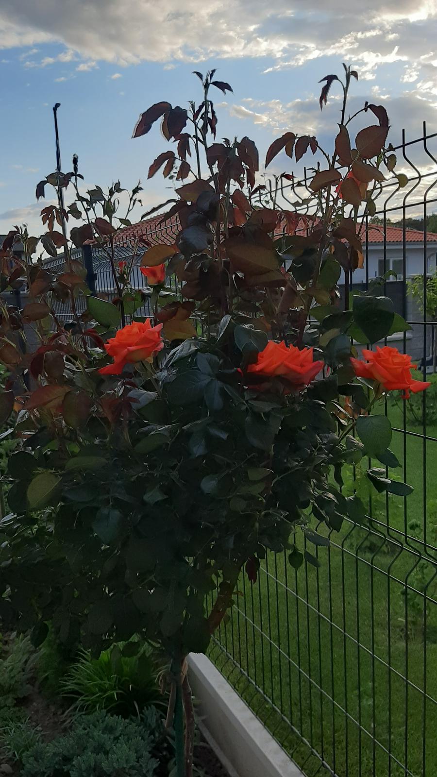 🏠🌞🌺❤🌷 Zahrada a jej dalsi rok...2020 🌱🐞🐛🦋🍓🥕🍅🌺❤ - Ruzicka zacina kvitnut...