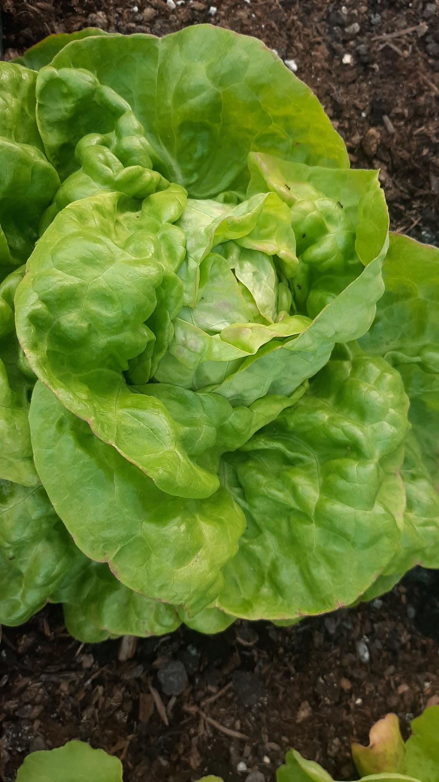 🏠🌞🌺❤🌷 Zahrada a jej dalsi rok...2020 🌱🐞🐛🦋🍓🥕🍅🌺❤ - Salat...tento rok uz pomenej kuskov.