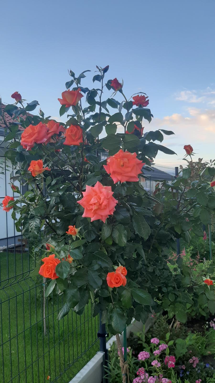 🏠🌞🌺❤🌷 Zahrada a jej dalsi rok...2020 🌱🐞🐛🦋🍓🥕🍅🌺❤ - Ruza kvitne jedna radost...