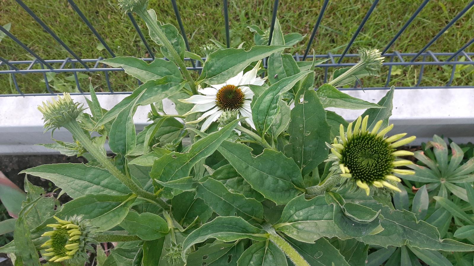 🏠🌞🌺❤🌷 Zahrada a jej dalsi rok...2020 🌱🐞🐛🦋🍓🥕🍅🌺❤ - Echinacea.
