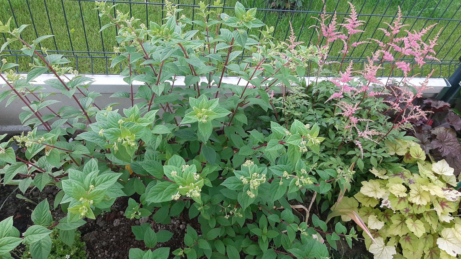 🏠🌞🌺❤🌷 Zahrada a jej dalsi rok...2020 🌱🐞🐛🦋🍓🥕🍅🌺❤ - Hortenzia metlinata a astilbe.